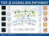 TGF-β Signaling Pathway