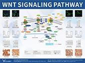 Wnt Signaling Pathway