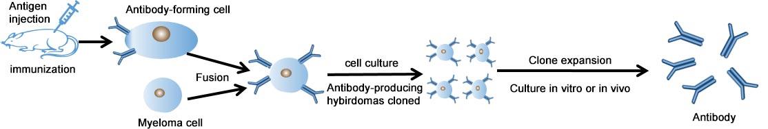 Production process of Cusabio custom monoclonal antibody