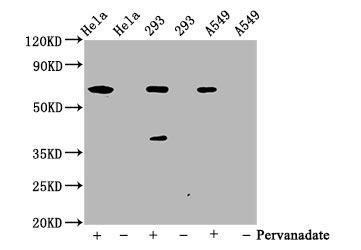 WB application of Phospho-SHP2 antibody