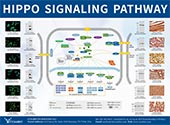 Hippo Signaling Pathway poster