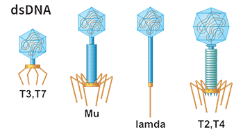 Different Phages of Phage Display Systems