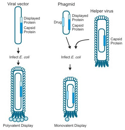 Different Vectors of Phage Display Systems