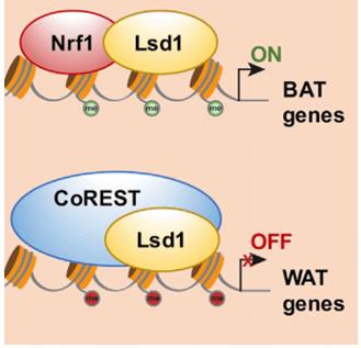 Histone demethylase LSD1