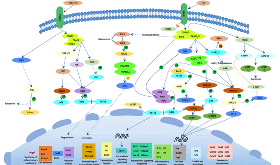 The picture of TNF signaling pathway