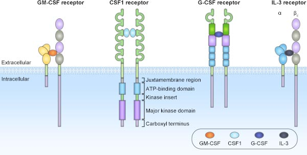 The structures of the CSF receptors