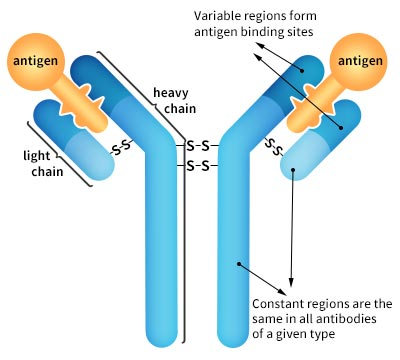 How to Choose an Antibody for Scientific Research?
