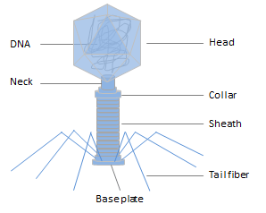 TheOverviewofPhageDisplay:Protocol,Classification,Application and FAQs