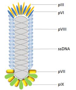 M13 bacteriophage