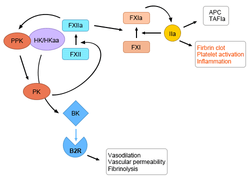 Factor XII activation at the nexus of coagulation and inflammation