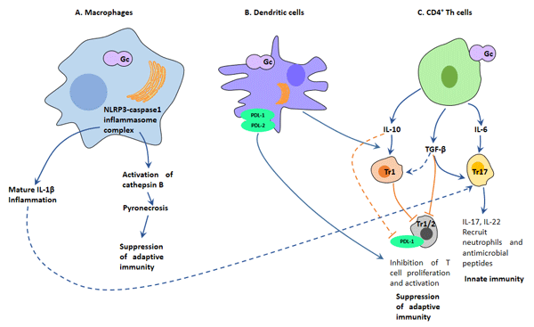 Mechanisms of interaction of Neisseria gonorrhoeae (Gc) with cells of the immune system