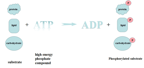 Substrate phosphorylation:Transfer of phosphate groups from high-energy donor molecules, such as ATP, to specific target molecules
