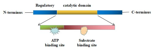 The structure of protein kinase