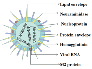 Typical structural features and key components of influenza viruses: HA (Hemagglutinin), NA (Neuraminidase), and viral RNA