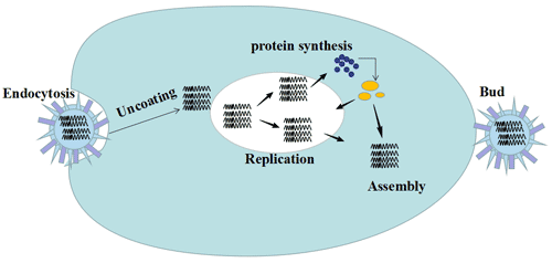 The process of influenza virus infection, including uncoating, virus replication, protein synthesis and assembly