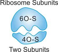 The Structure of Ribosome
