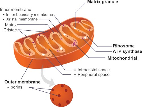 The Structure of Mitochondria