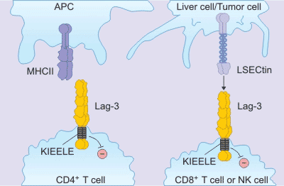 What Are Immune Checkpoint Pathways?