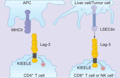 the mechanism of LAG-3