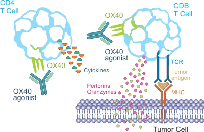 the mechanism of OX40