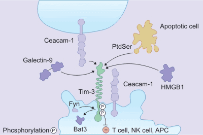 the mechanism of TIM-3