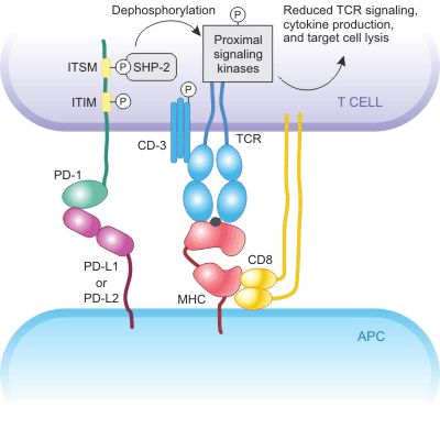 The mechanism of PD-1 inhibits.