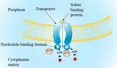 Figure 3 The structure and transport process of ABC