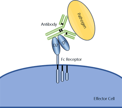 The illustration of an Fc receptor