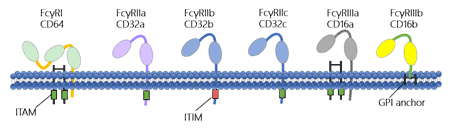 The structure of Fc gamma receptors