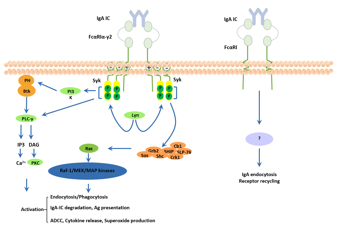 Signaling pathways triggered by FcαRI