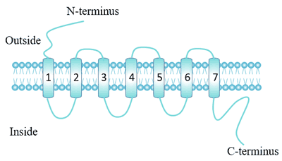 The Structure of GPCR: 7 alpha-helix transmembrane domains
