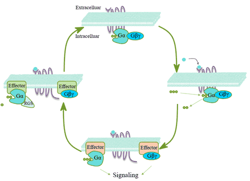 Signal transmission mechanism of G protein coupled receptor