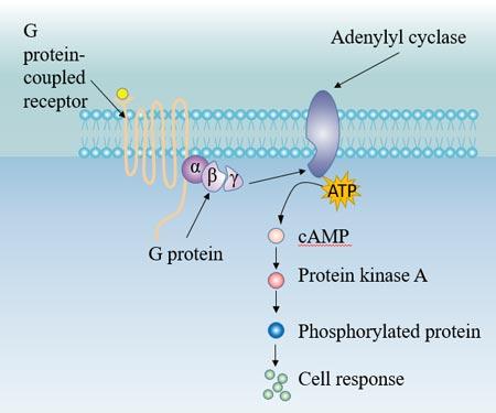 G protein-Ac pathway