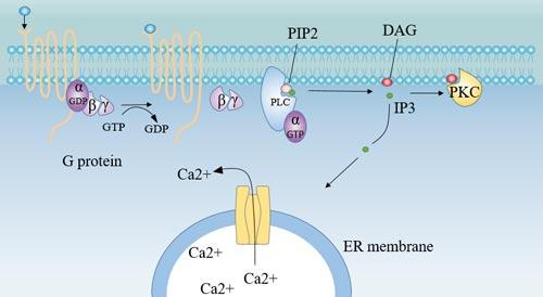 Receptor-G protein-PLC pathway