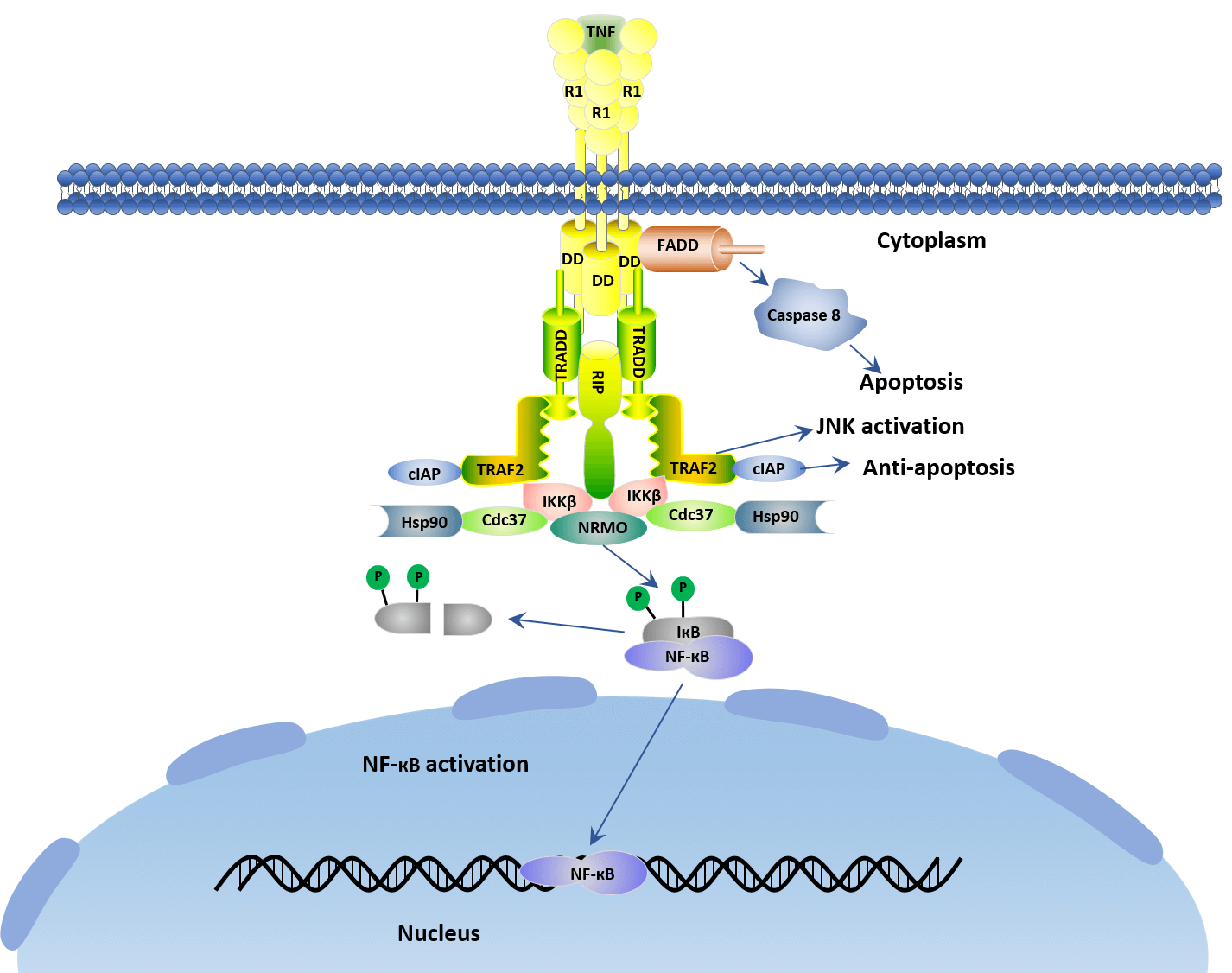 What A Paradoxical TNF Signaling Pathway-Based on Different Receptors