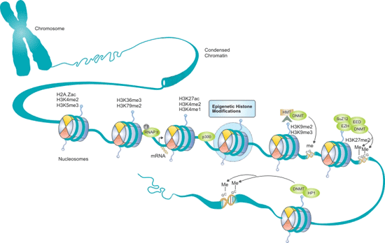 Epigenetic Histone Modifications Pathway