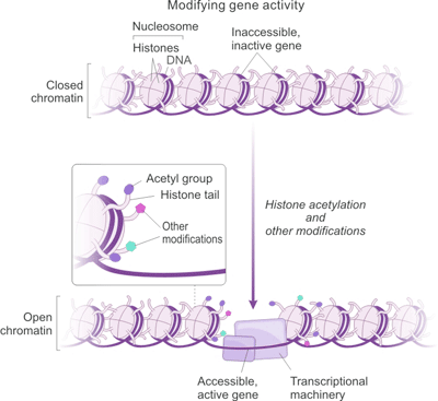 The Correlation between Histone Acetylation and Gene Expression