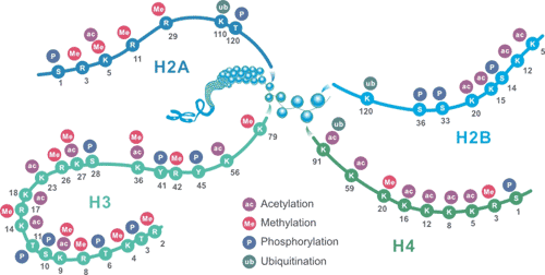The Schematic of Common Histone Modification Site