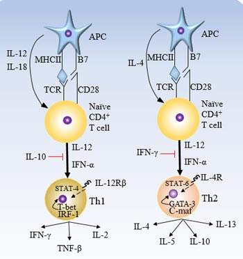 Cytokines and transcription factors involved in the differentiation of Th1 and Th2