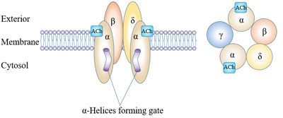 Molecular structure of ligand-gates ion channels