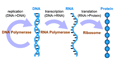 the brief diagram of genetic central dogma