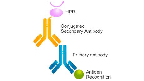 The mechanism of secondary antibody