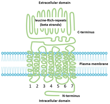 Structure of FSHR