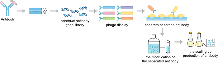 The Production Process of Recombinant Antibody