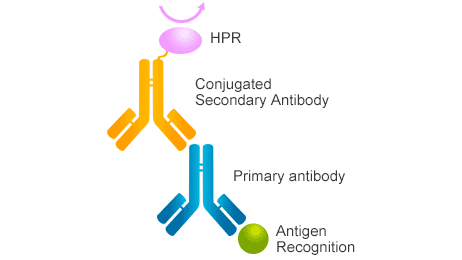 How to Choose the Right Secondary Antibody?