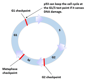 Figure 2 p53 and cell cycle