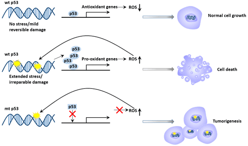 p53 and DNA damage repair and apoptosis