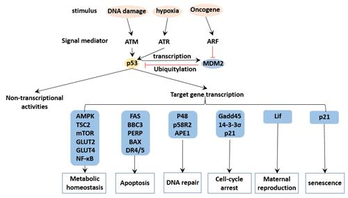 p53 regulation network