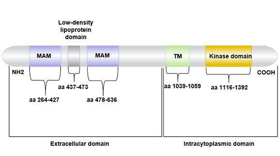 The structure of ALK(anaplastic lymphoma receptor tyrosine kinase)