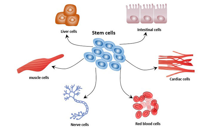 Cell differentiation of stem cells
